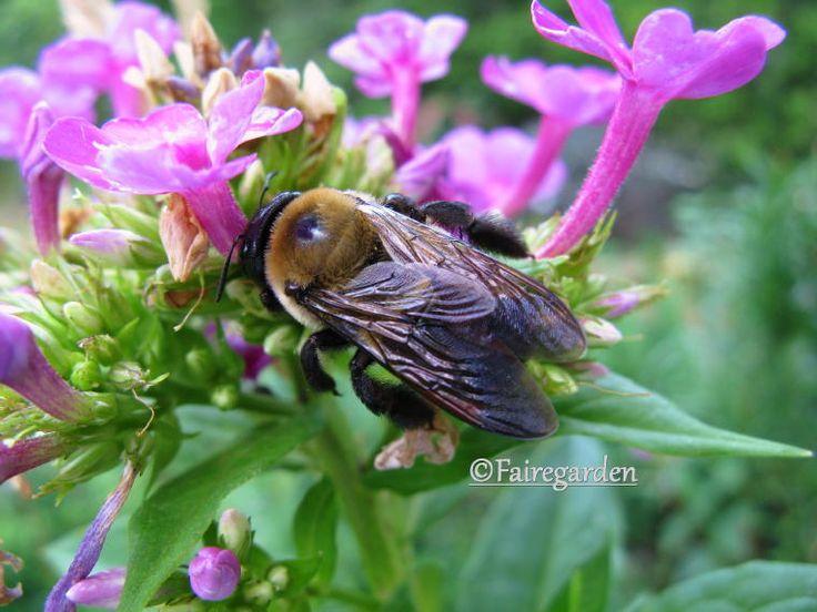 sleeping bee: Sleep Bees, Phlox Paniculata, Save, Gardens Phlox, Pollin Bees, Honey Bees