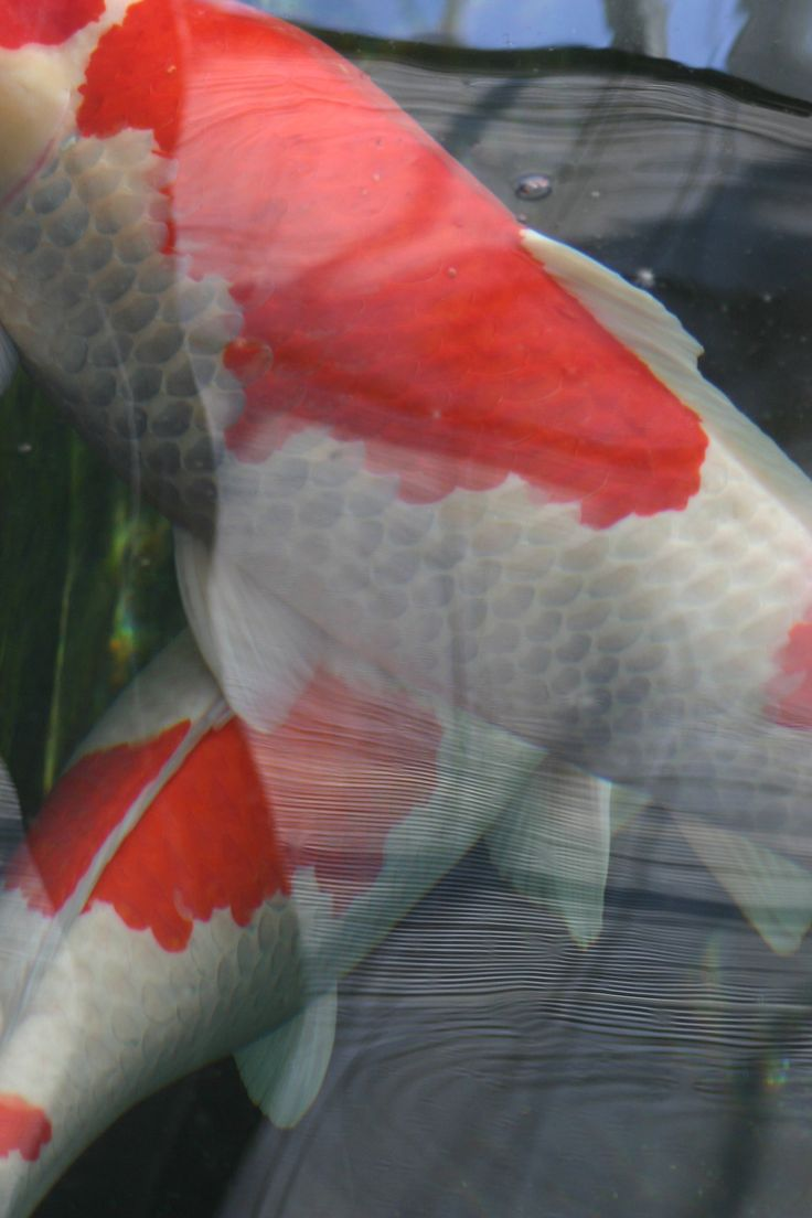 7 best koi images on Pinterest | Koi, Pisces and Fish