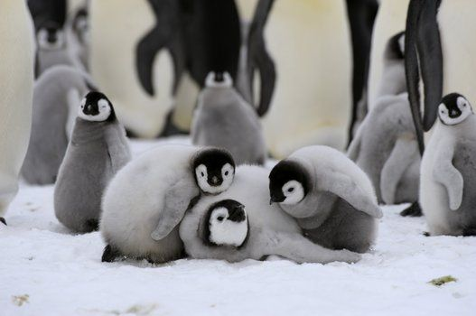 乗りあうペンギン