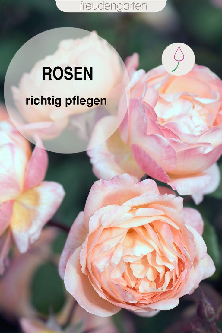 Rosen pflegen, düngen schneiden