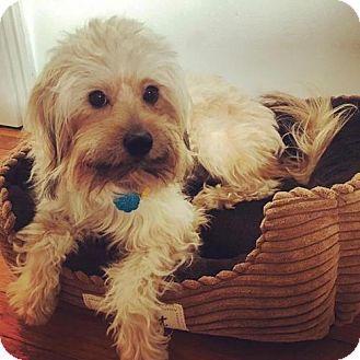 2/1/17 Brooklyn, NY - Havanese Mix. Meet Matthew McConaughey, a dog for adoption. http://www.adoptapet.com/pet/17495893-brooklyn-new-york-havanese-mix