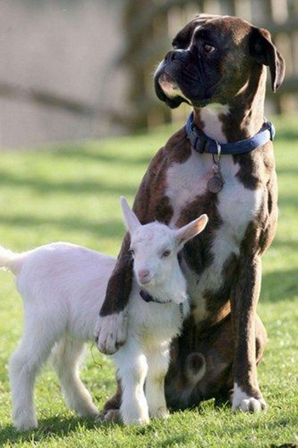 Dog has to look out for his baby goat | odd couples | animals | | pets | #pets  #animals   https://biopop.com/