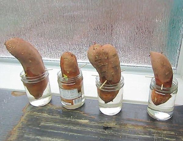 Ako pestovať sladké zemiaky