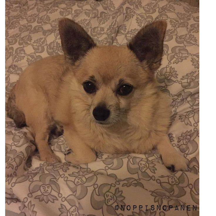 Ok, I'm calling it a day- good thing there's fresh linen on Daddy's bed! Sweet dreams everypawdy! #noppis #pomchi #pomchilife #chi#chihuahuaworld #chihuahuamix #ilovemydog #cutedog #cutest #sleep #bed #daddy #jokerit #khl