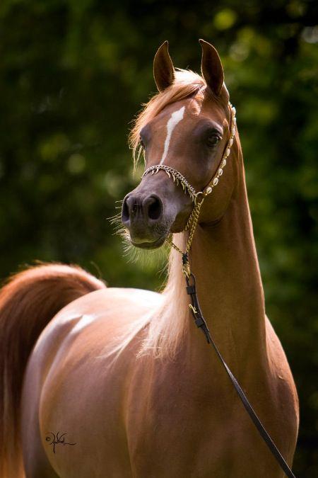 Horse / Arabian / toknow-thearabian:      Botswana x Shaamis Amira  Photo by April Visel