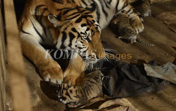 Harimau Benggala Melahirkan  Harimau Benggala (Penthera tigris tigris) koleksi Taman Marga Satwa Mangkang, Kota Semarang, Jawa Tengah menyusui empat anaknya yang berusia satu hari, Rabu (19/9/2012). Kelahiran empat anak harimau ini menjadi peristiwa yang pertama kali terjadi di Taman Marga Satwa Mangkang. Rencananya seluruh anak harimau tersebut akan disusui secara alami oleh induknya.