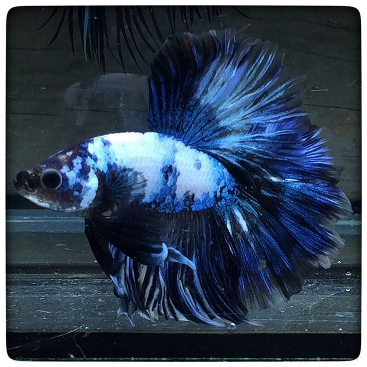 67 best cool aquarium fish images on pinterest fish for Cool freshwater fish