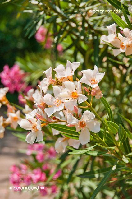 Leander (Nerium oleander) gondozása, szaporítása (Babérrózsa)