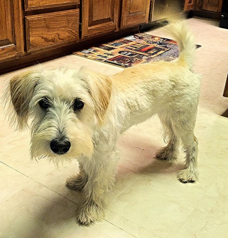 22 Best Schnocker Puppies Images On Pinterest Puppies