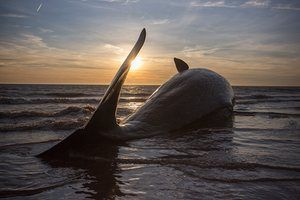 One of three Sperm Whales, washed ashore near Skegness in January