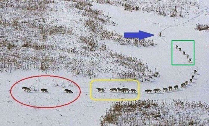 A group of wolves:  The 3 in front are old & sick they walk in front to set the pace of the running group lest they get left behind.  The next 5 are the strongest & best they are tasked to protect the front side if there is an attack.   The pack in the middle are always protected from any attack.  The 5 behind them are also among the strongest & best; they are tasked to protect the back side if there is an attack.  The last one is the LEADER. He ensures that no one is left behind. He keeps…