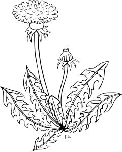 KU taraxacum officinale Clip Art