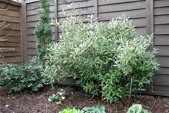 The Sweet Box is a shrub that is popular in home gardens due to their hardiness and ornamental properties. The sweet box is known for their ability to withstand cooler temperatures and can even survive a harsh frees if the base and roots are covered securely. Covering the plant with sheets is a common, easy way to prevent the plant from completely perishing in winter.