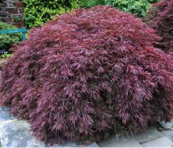 acer palmatum dissectum atropurpureum port plants for. Black Bedroom Furniture Sets. Home Design Ideas