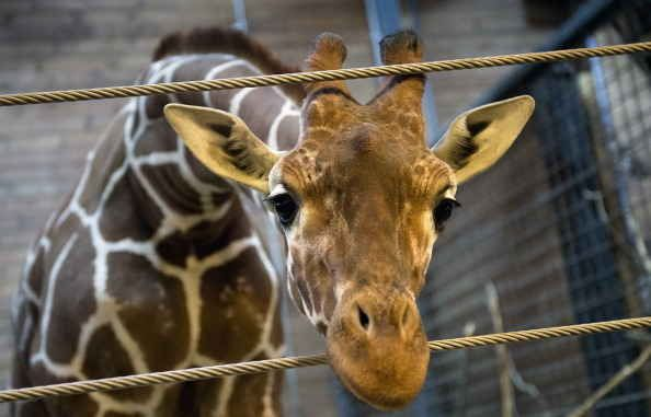Marius, an 18-month-old giraffe at the Copenhagen Zoo, was killed and dissected in front of zoo visitors this morning, in order to prevent the giraffes from inbreeding .