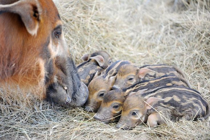 The Tastiest Bacon of all: African Red River Hog Piglets