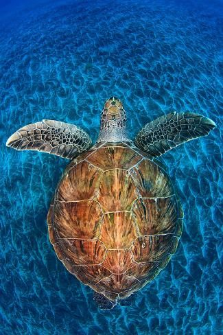 Loggerhead turtle, so beautiful! So blessed to get to work with these