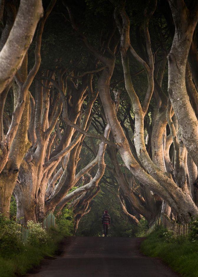 Beautiful avenue of trees in Ireland.