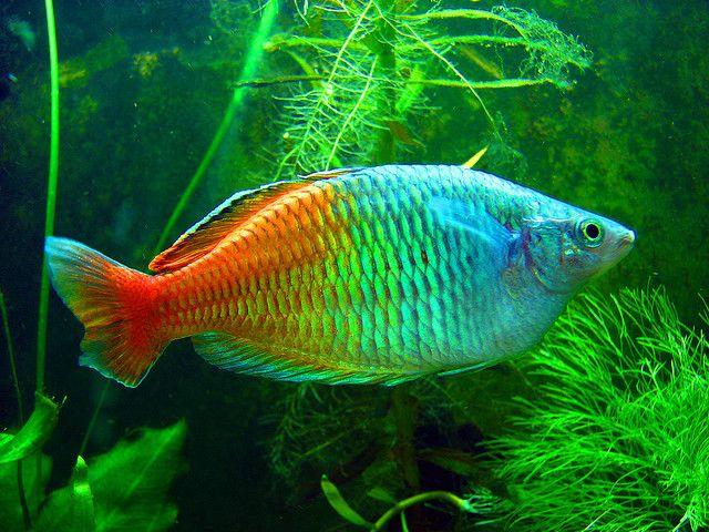 """Melanotaenia boesemani - (Boeseman's / Bosemani Rainbowfish) - max size under 5"""", readily available at major pet stores, peaceful"""