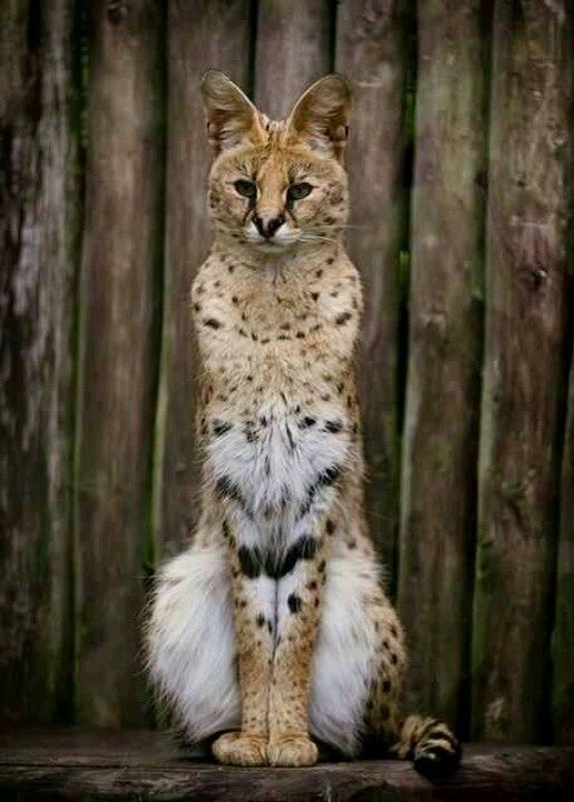 Cute Exotic Animals   Beautiful. Serval cat   Cute Pets & Exotic Animals ..... standing and folding arms?