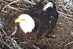 "A great activity to do with senior adults is to keep tract of the status on live ""eagle cams"" it is fun and helps to connect us ""live"" and more imtamately with these wonderful creatures!"
