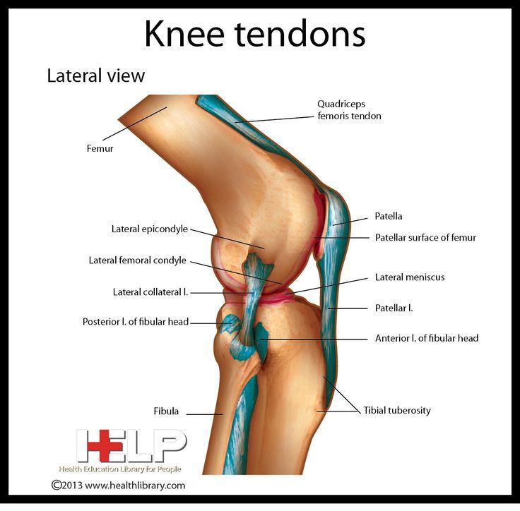 Knee Tendons Skeletal Pinterest