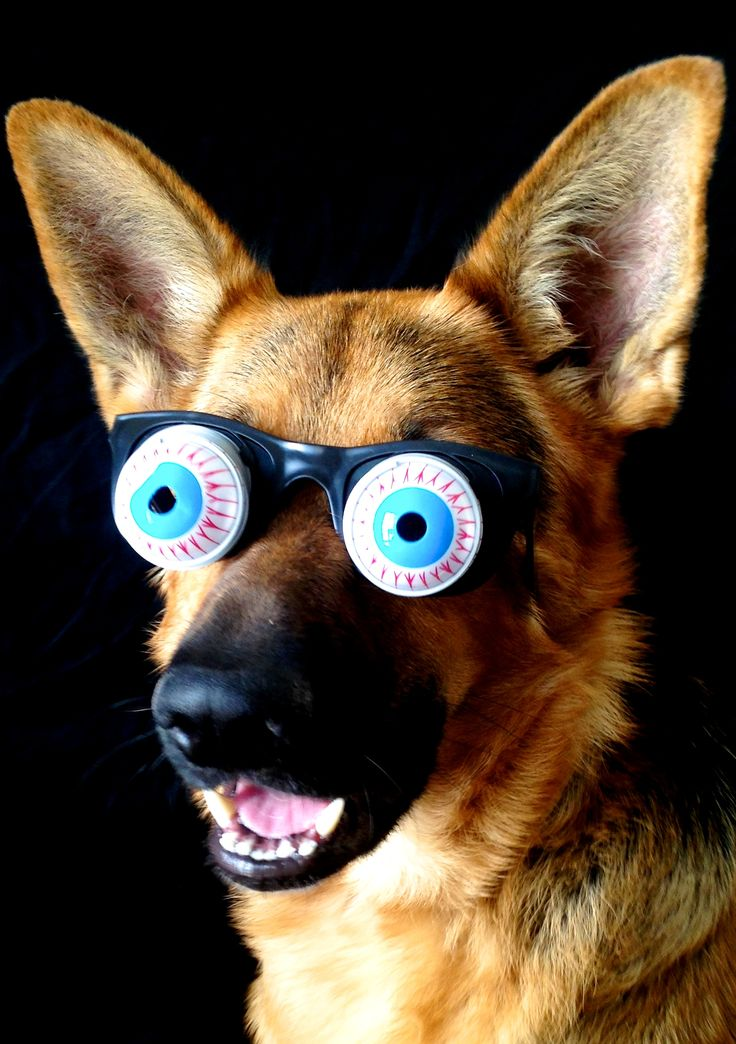 1001 best images about german shepherd dressed up closed on pinterest