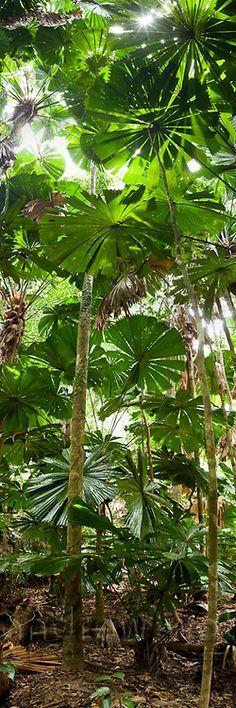 Licuala palm forest at Cape Tribulation, Daintree National Park, #Queensland, #Australia