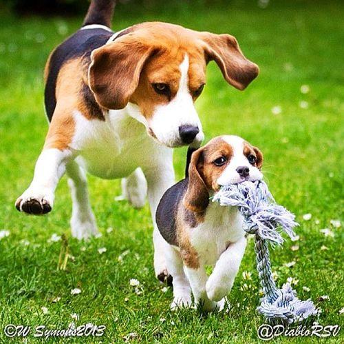 .Beagles!