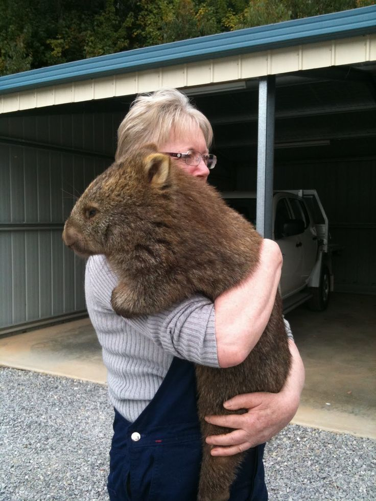 This is what a wombat looks like! So stocky and all muscle.