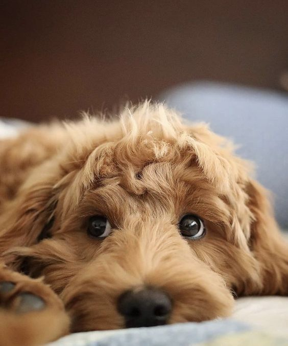 Whether It S An Australian Labradoodle Or Simply Just A