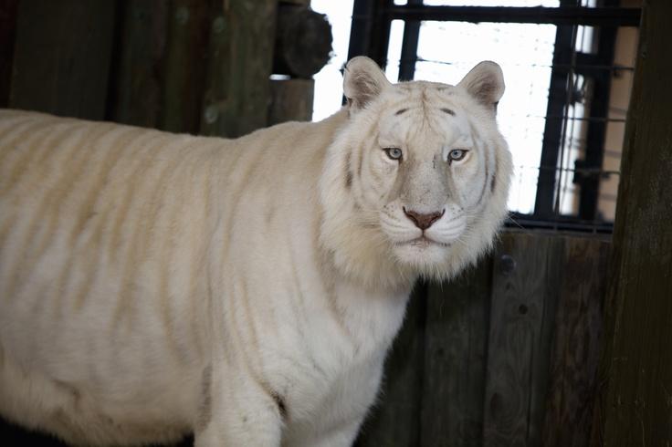 Snow White Bengal Tiger at Wild Adventures Theme Park. # ...