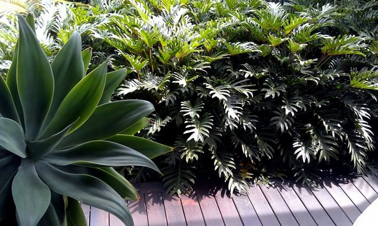 Philodendron Xanadu. This is a attractive and compact foliage plant that creates a tropical look in a shaded spot