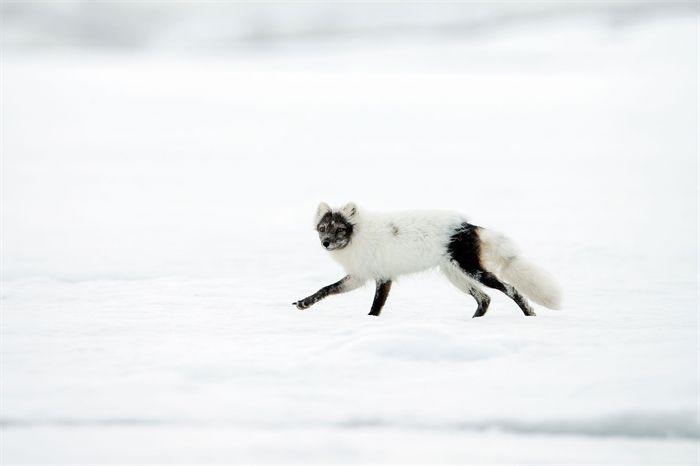 Svalbard 17 juni - Naturfotograf Hasse Andersson