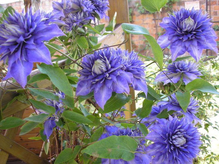 655 best images about clematis on pinterest blue angels. Black Bedroom Furniture Sets. Home Design Ideas