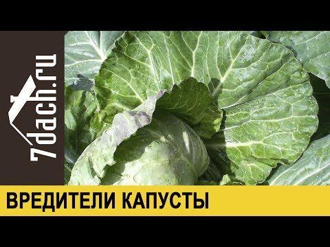 КРЫЖОВНИК: нюансы выращивания, размножение и заготовка - 7 дач - YouTube