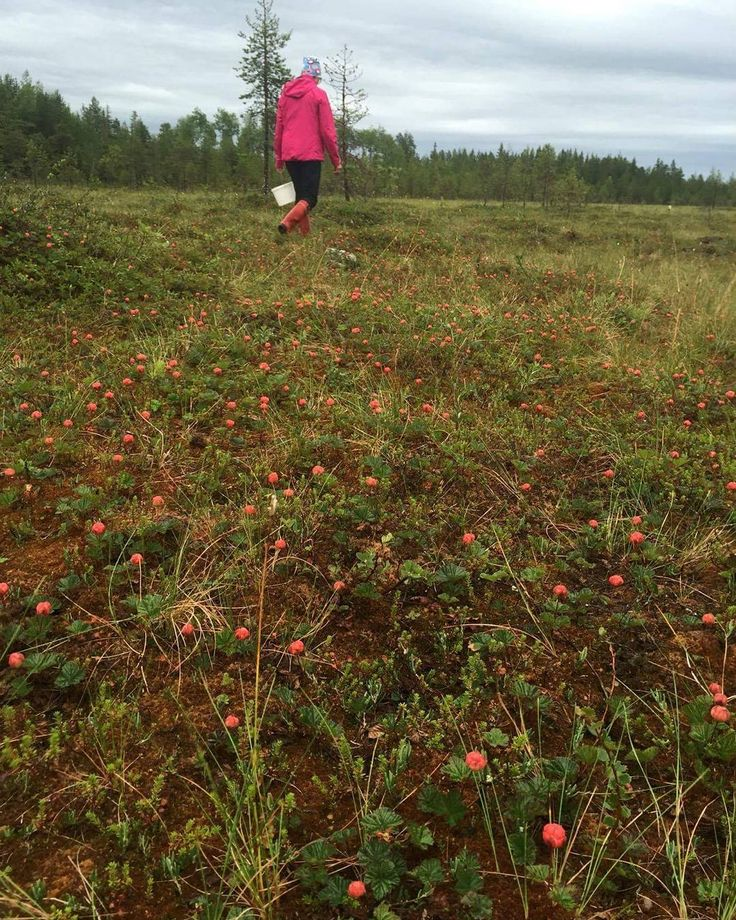 Photo by Wildlifesafaris Ranua. Clodberry season has begun in Ranua. It seems to come good as there was no frost in Ranua and there was no snow on the ground,  which took place in…