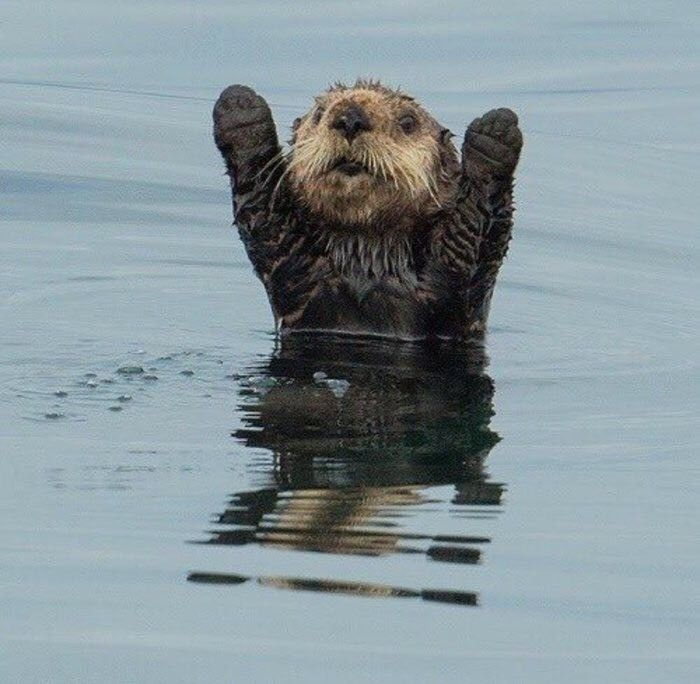Otter Hands Up Cute Funny Animals Otters Cute