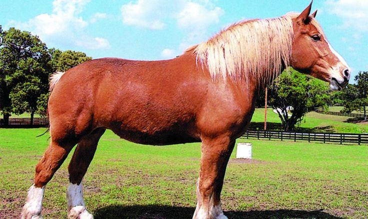 Caballo italiano de tiro - http://www.noticaballos.com/caballo-italiano-de-tiro.html