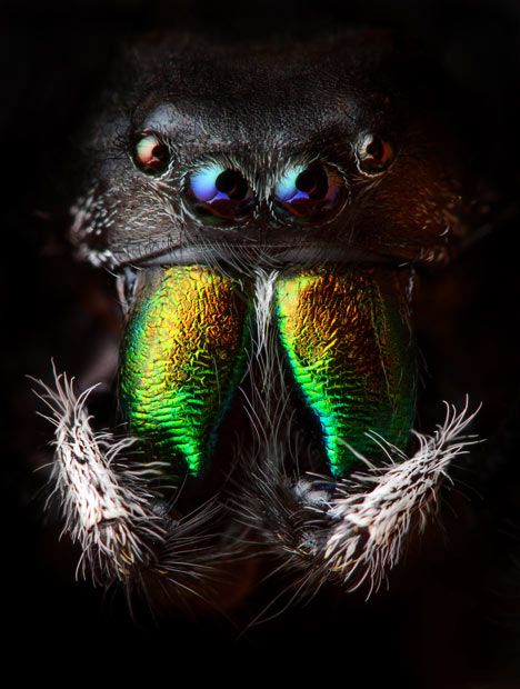 Beautiful macro shot of an iridescent jumping spider. Wouldn't you just love to see this guy dropping from the ceiling next to your chair!!!  Shudder!