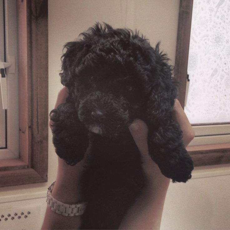 Black cavapoo puppy!   7 sleep until he comes to live with us!!