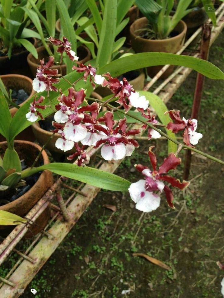 Oncidium > Dancing Lady with chocolate scent