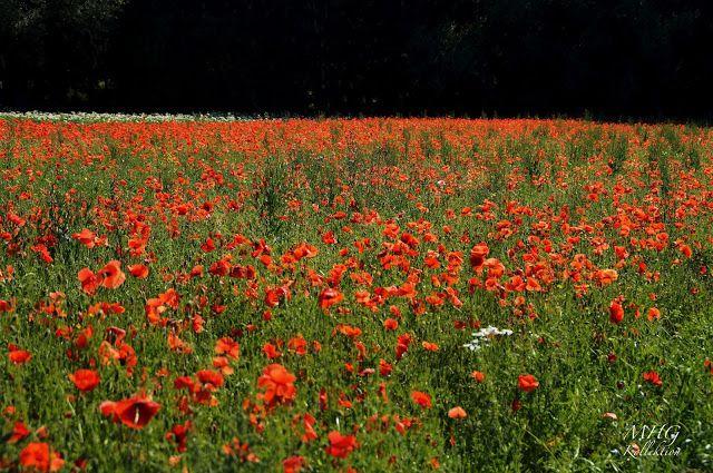 #Mohn #papaver #poppy #Rot #Fotografie #Makro #macro #photography #Pflanzen #Plants #Natur #nature #beautiful