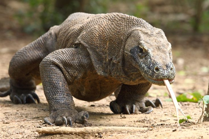 Komodo dragon (Varanus komodoensis) (sw. Komodovaran). It's the largest now living lizard with a length of 2--3 meters, and a weight of about 70 kilos.
