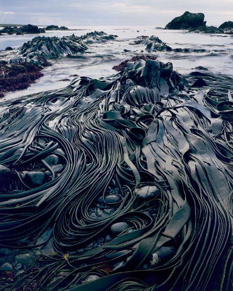 Peter Dombrovskis, Giant Kelp, Hasselborough Bay, Macquarie Island, Tasmania, 1984
