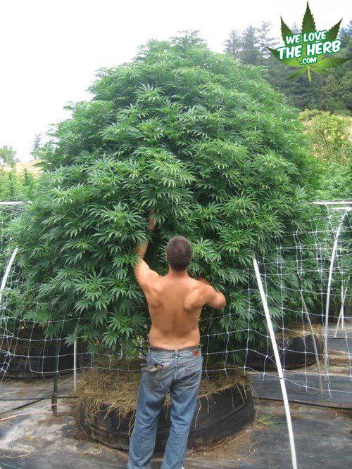 how to grow weed tree