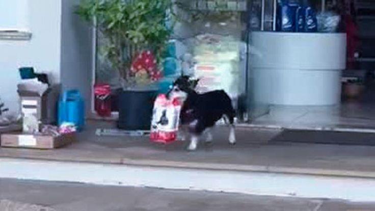 Pituco è un cane intraprendente: ogni mattina si procura le crocchette per i suoi spuntini in maniera autonoma. Parte da casa sua e raggiunge la clinica veterinaria della zona, dove ad aspettarlo ci sono i veterinari con un sacchetto pronto per lui.