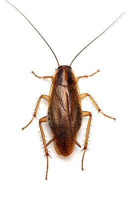 #Cockroaches are insects of the order Blattodea, which also includes termites. #householdpests #pestcontrol
