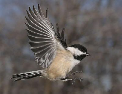 The black-capped chickadee flying and looking for food for its babies and itself.