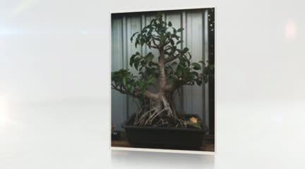 http://www.balconybonsai.com.au Everything bonsai @ http://www.balconybonsai.com.au